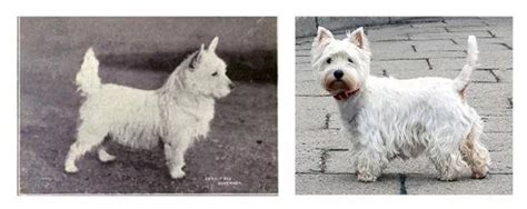 Fascinating Photos Of What Dog Breeds Looked Like 100