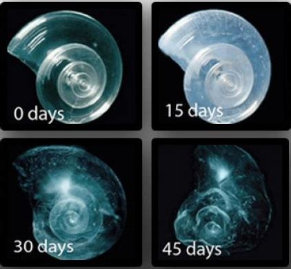 pteropods-dissolving-45-days-consequences-to-ocean